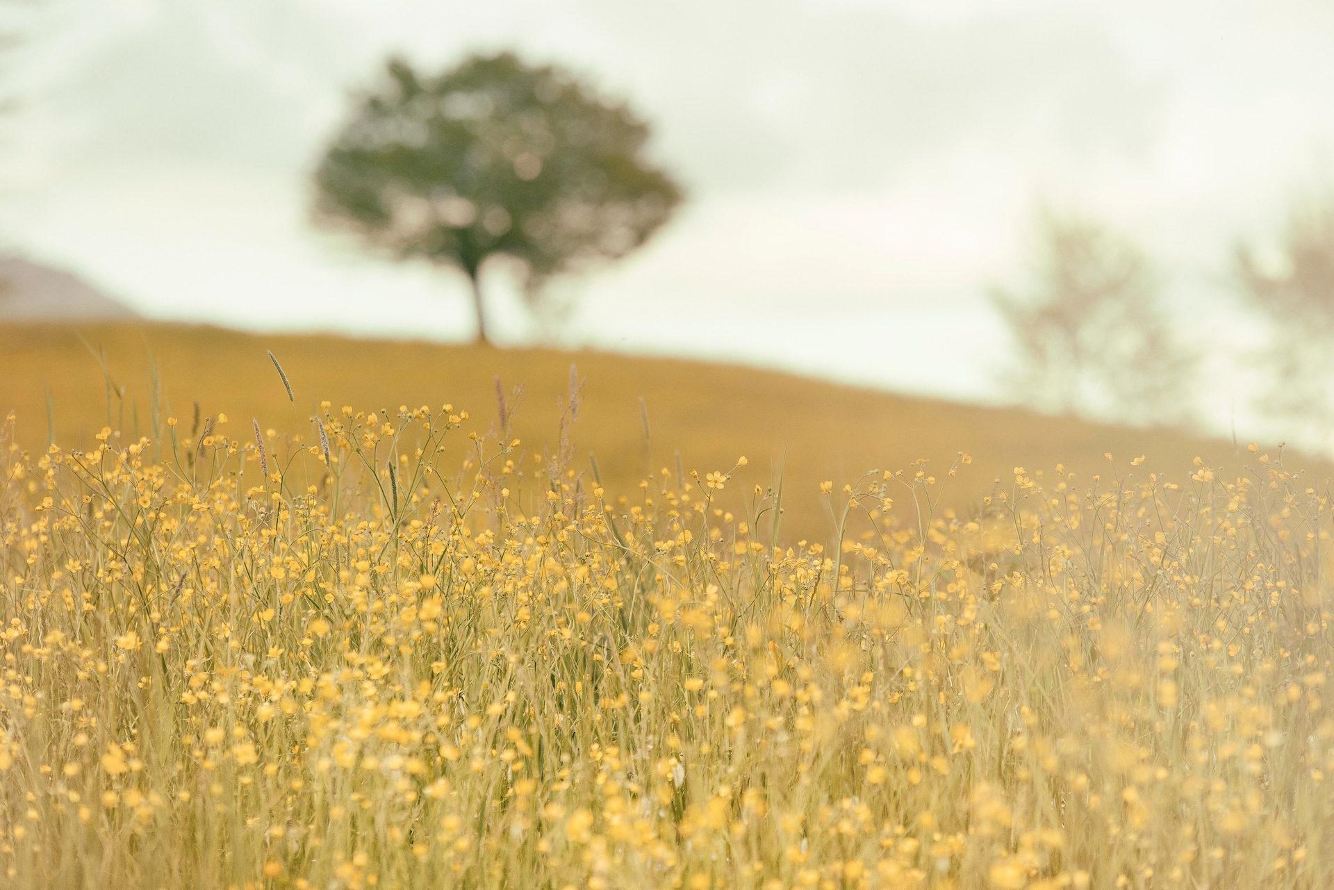 फूल, जंगली, फ़ील्ड, पेड़, Pradera - HD वॉलपेपर - प्रोफेसर-falken.com