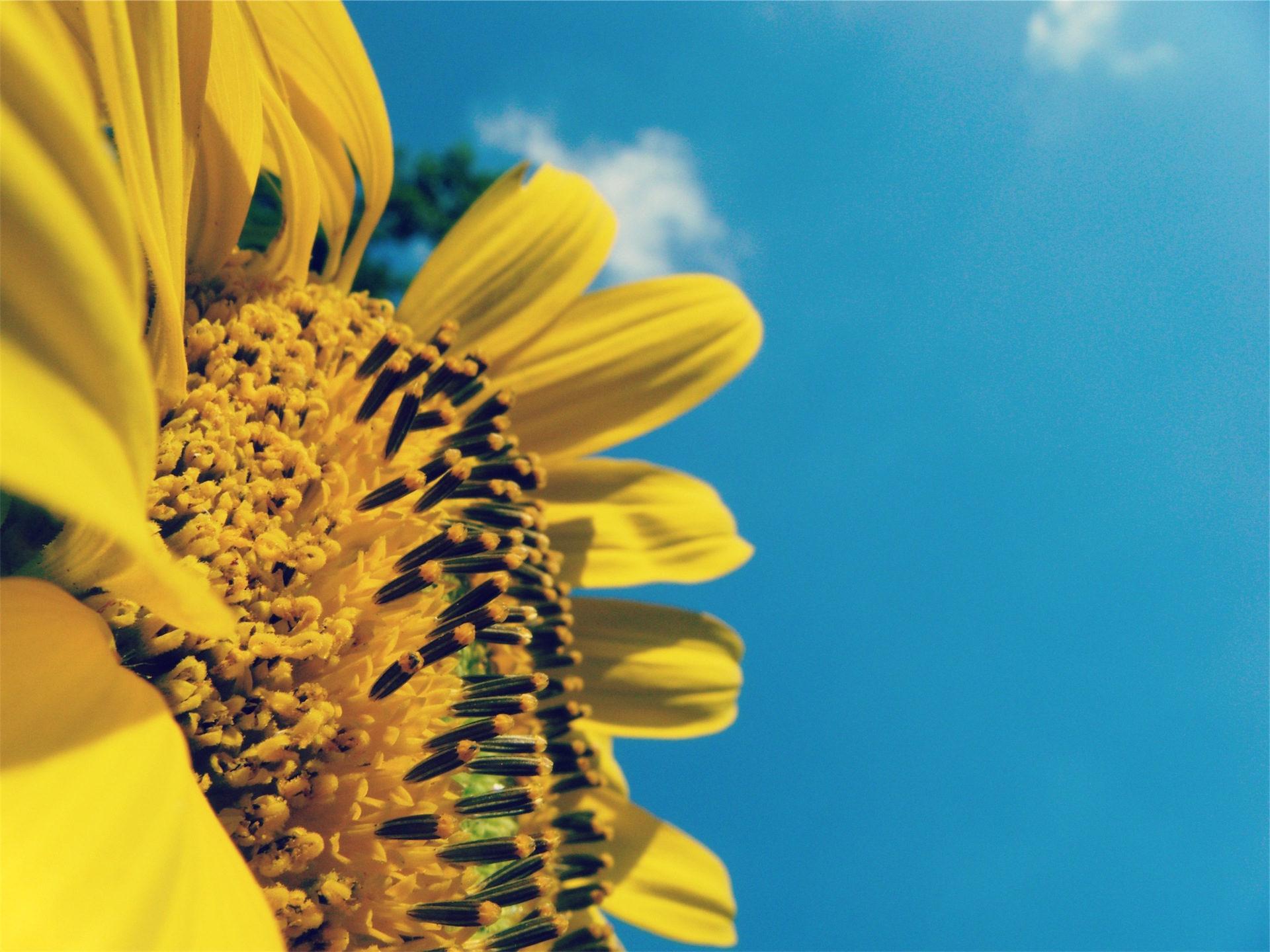Sonnenblume, im Erdgeschoss, Rohre, Himmel, Gelb - Wallpaper HD - Prof.-falken.com