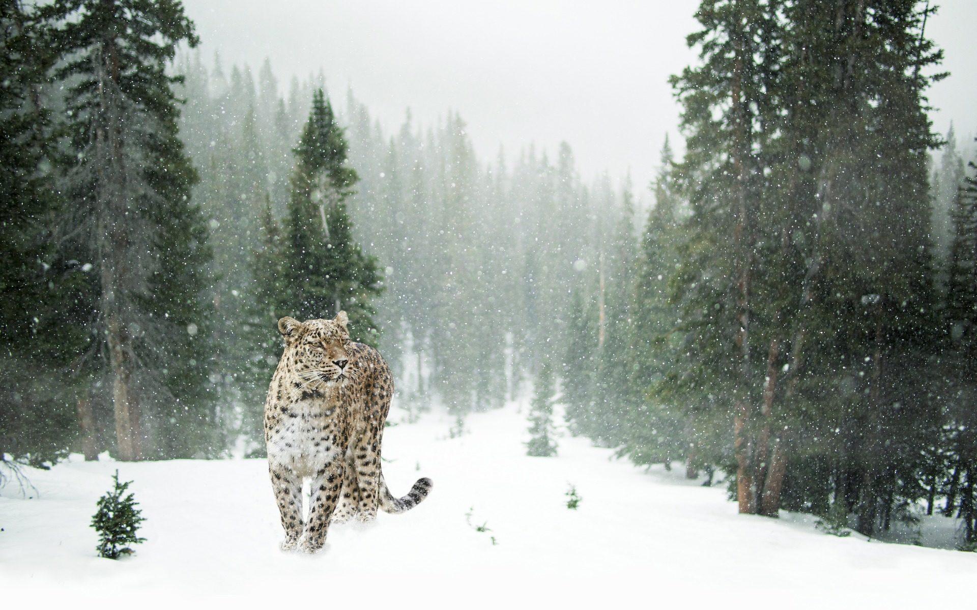 Леопард, персидский, снег, лес, Дикий, Невада - Обои HD - Профессор falken.com