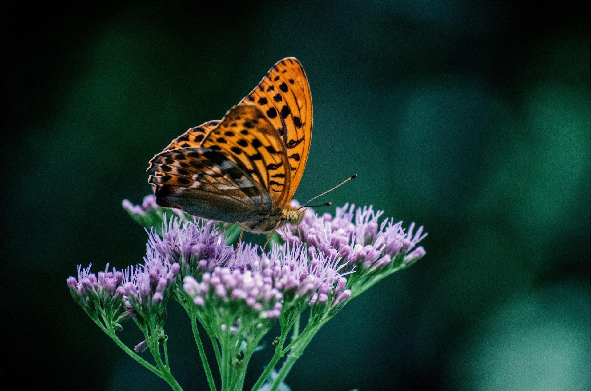 蝴蝶, 花, 翅膀, 美, 昆虫 - 高清壁纸 - 教授-falken.com