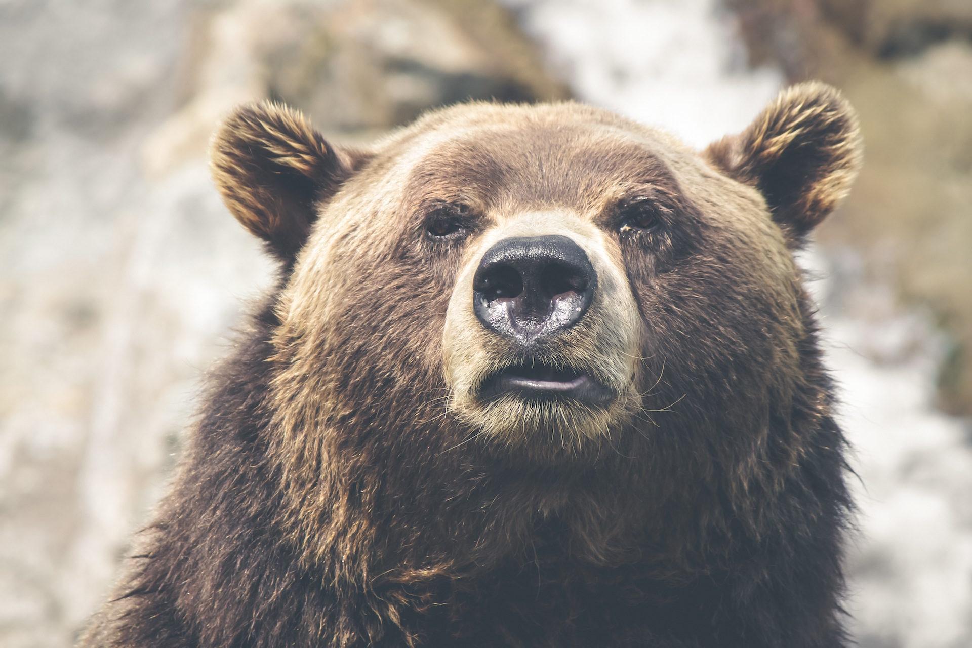 orso, Pardo, sguardo, muso, Selvaggio - Sfondi HD - Professor-falken.com