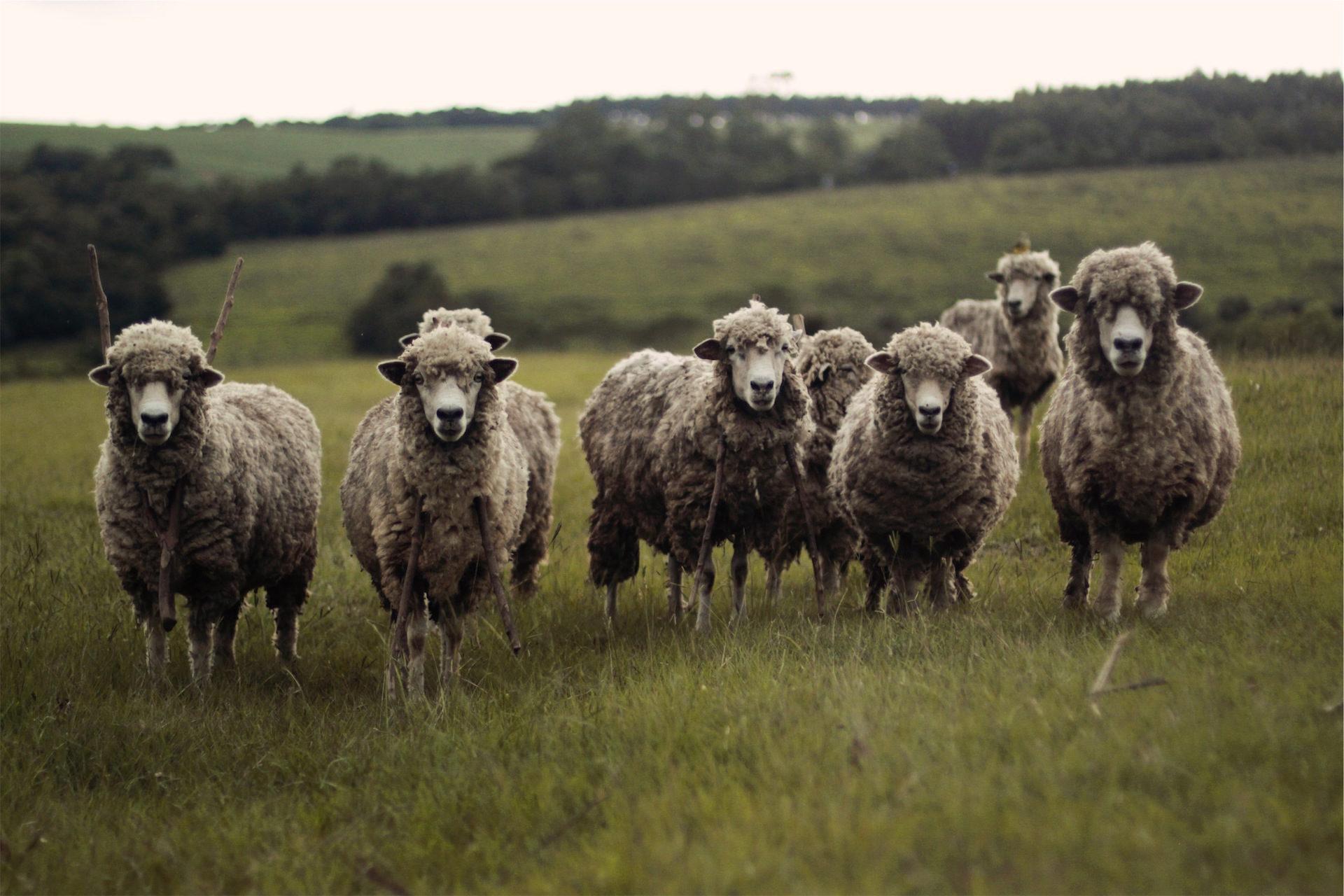 Schafe, Herde, Feld, Pradera, sieht - Wallpaper HD - Prof.-falken.com