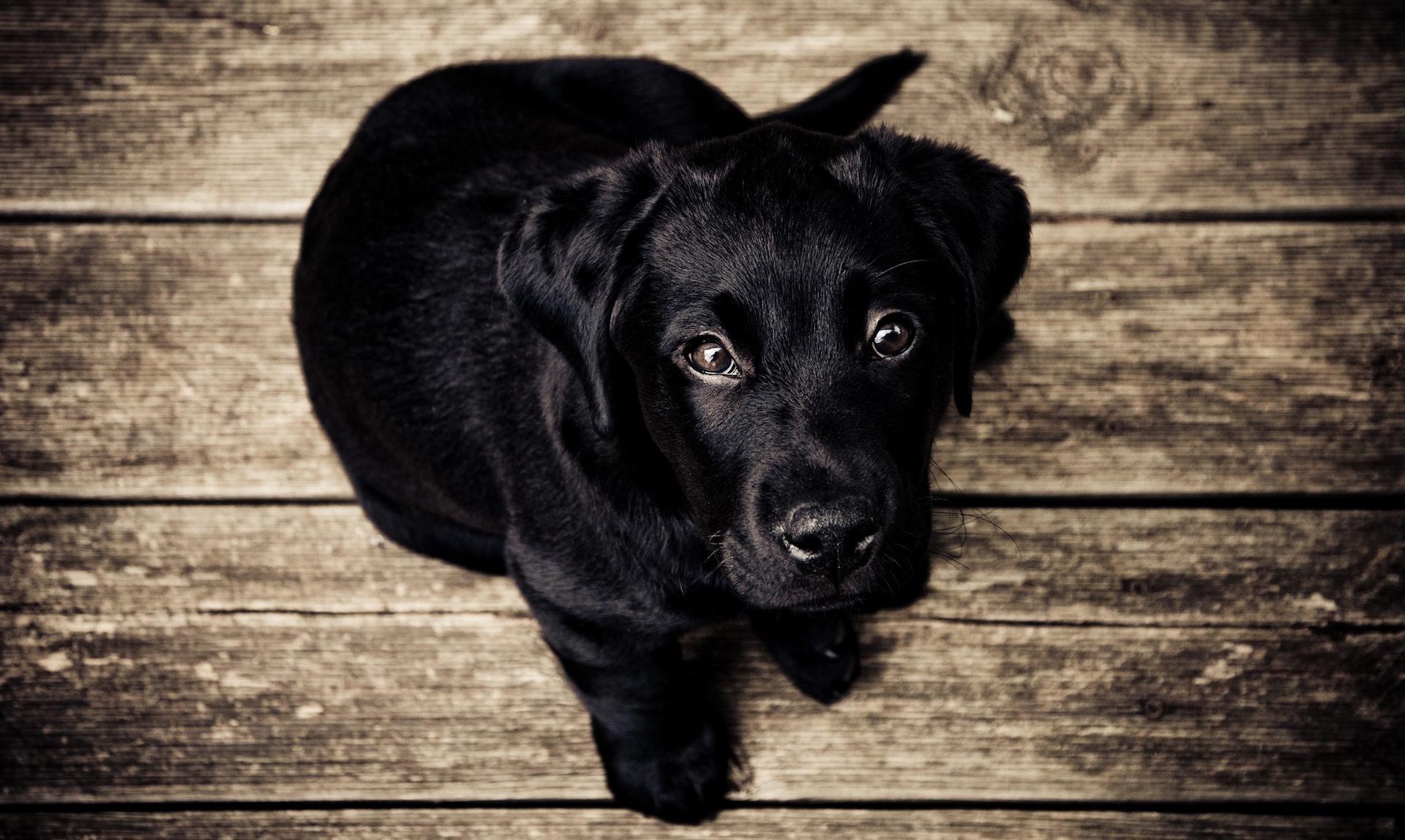 собака, Черный, Смотреть, глаза, Вуд - Обои HD - Профессор falken.com