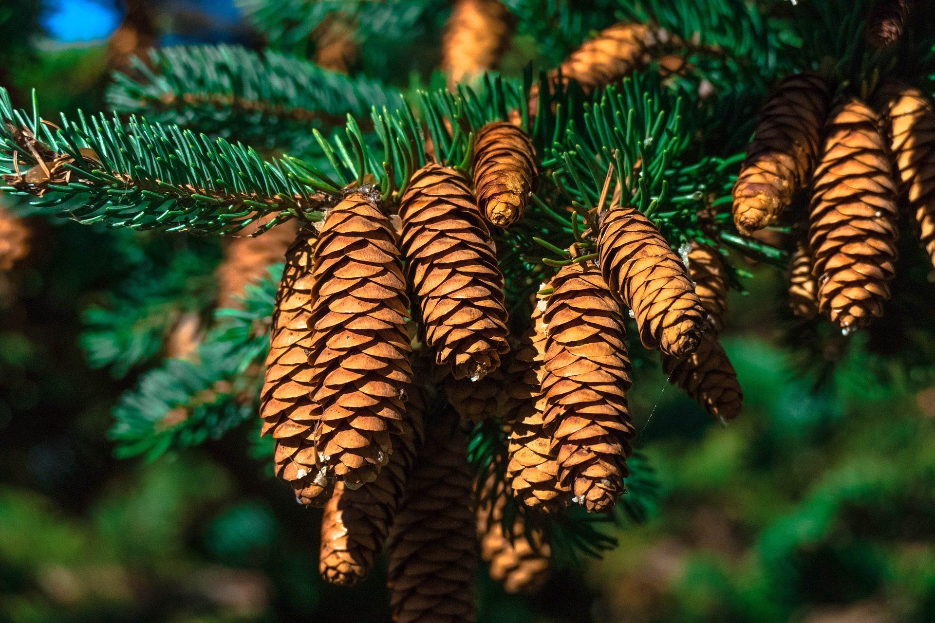 باين, piñas, piñones, النباتات, الأشجار - خلفيات عالية الدقة - أستاذ falken.com