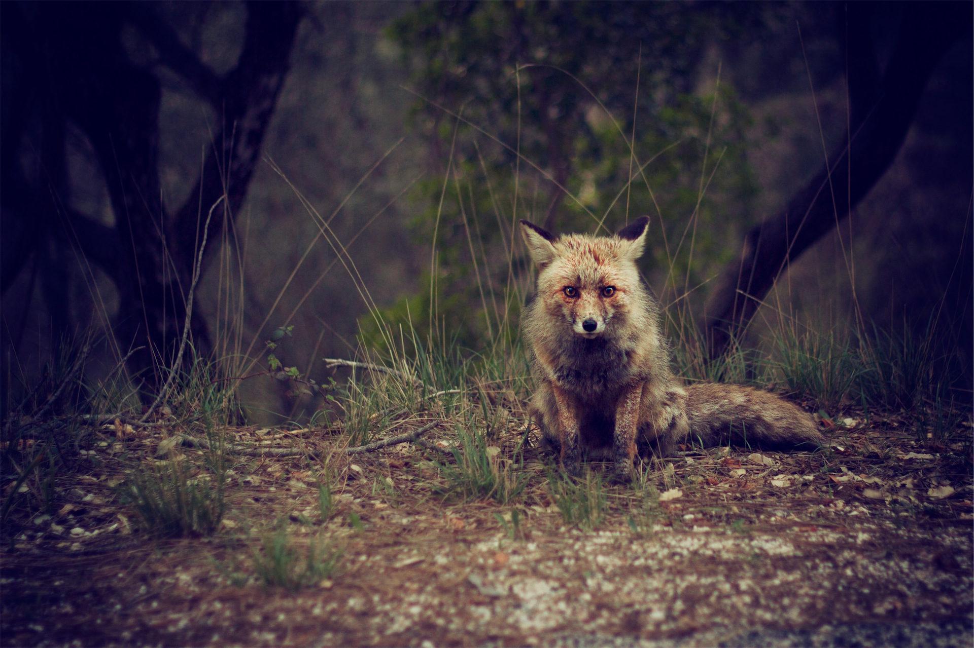 Zorro, foresta, campo, sguardo, Crafty - Sfondi HD - Professor-falken.com