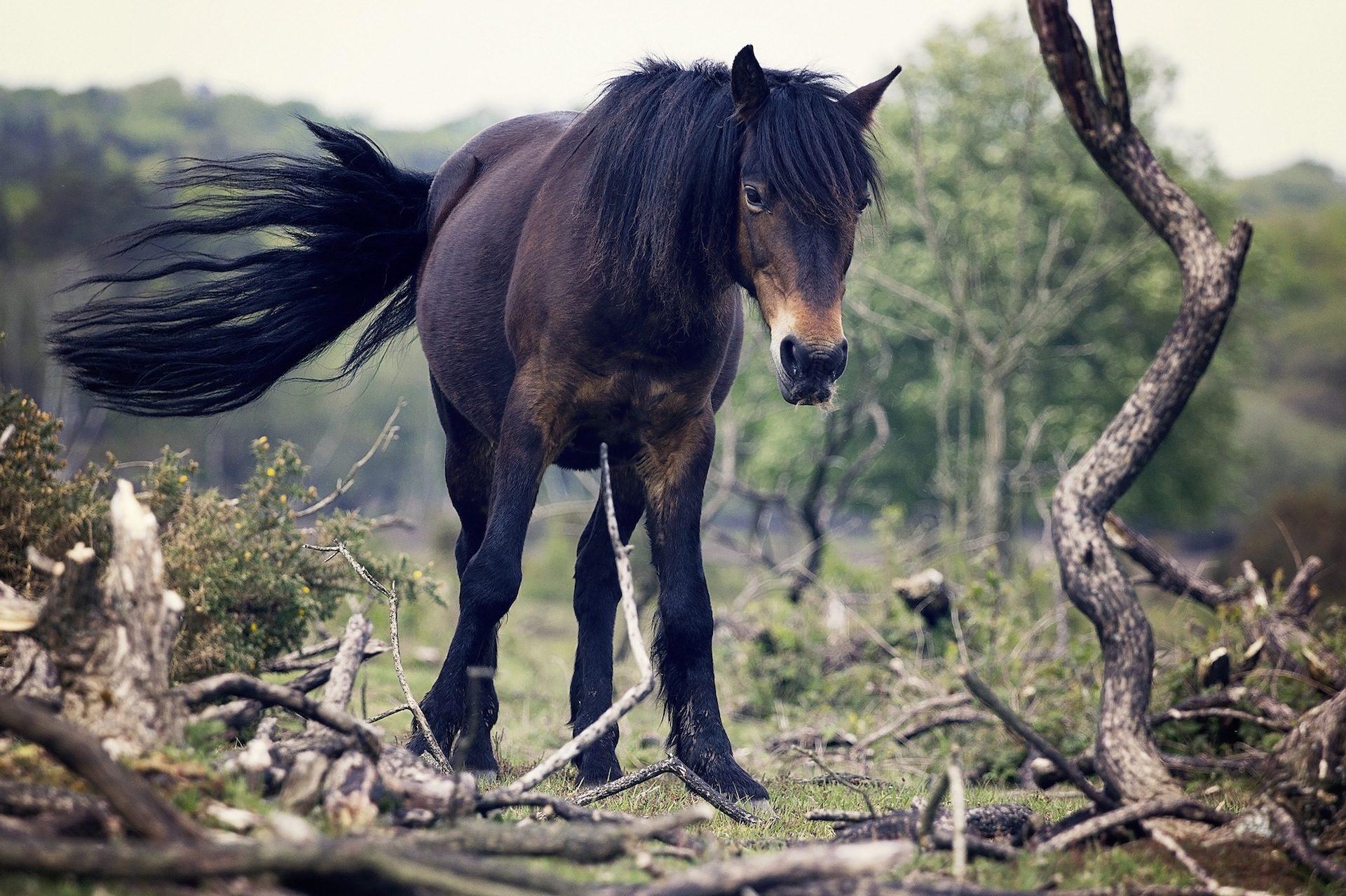 घोड़ा, फर, फ़ील्ड, शाखाओं, पेड़ - HD वॉलपेपर - प्रोफेसर-falken.com