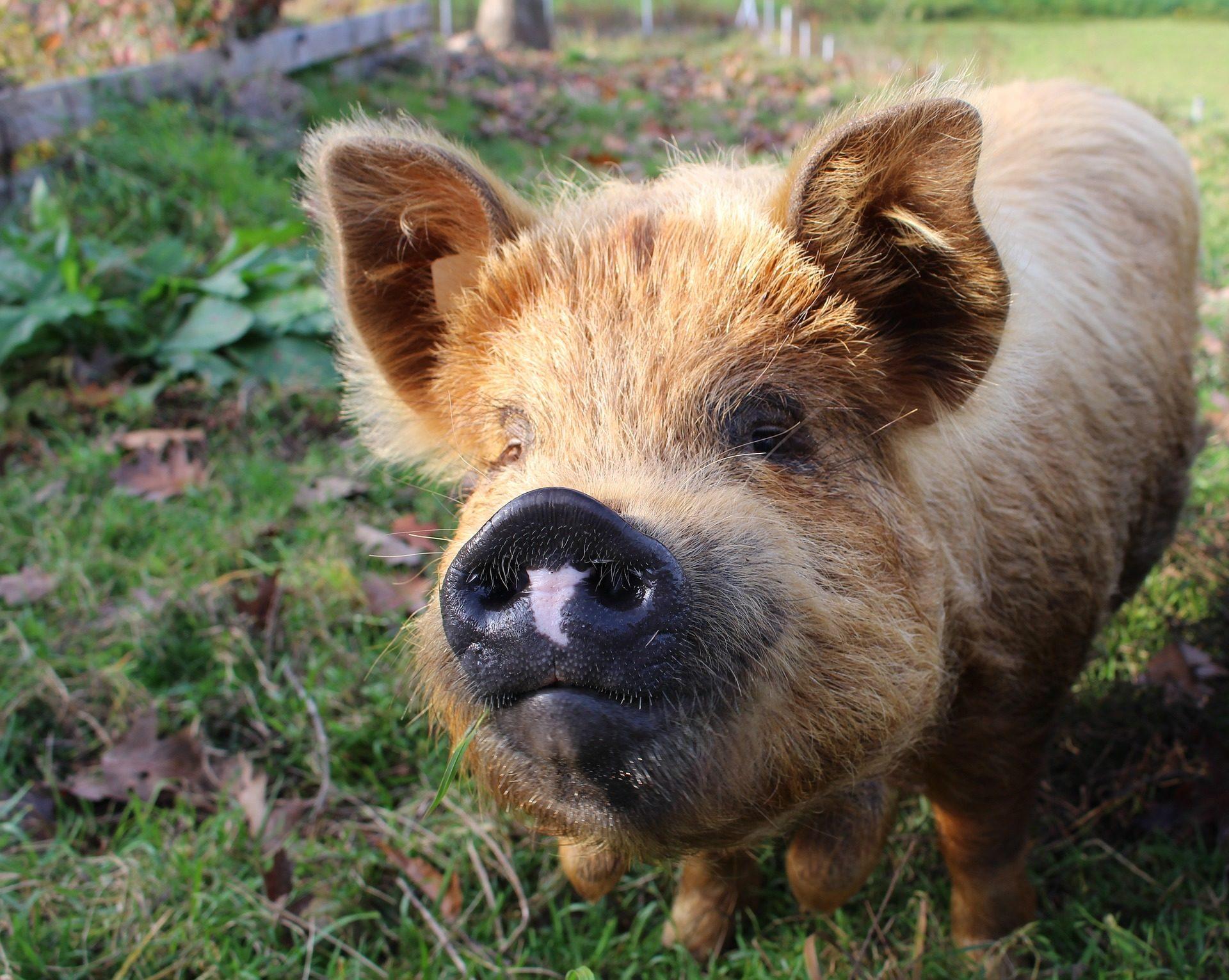 cerdo, свин�Свининаuerco, Рыло, Морро, уши - Обои HD - Профессор falken.com