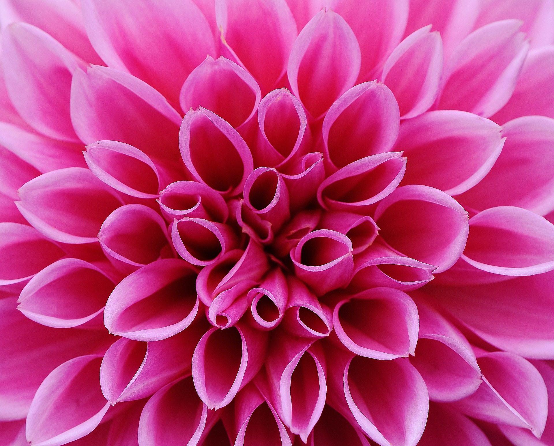 Blume, Dalia, Blütenblätter, Rosen, Menge, Formen - Wallpaper HD - Prof.-falken.com