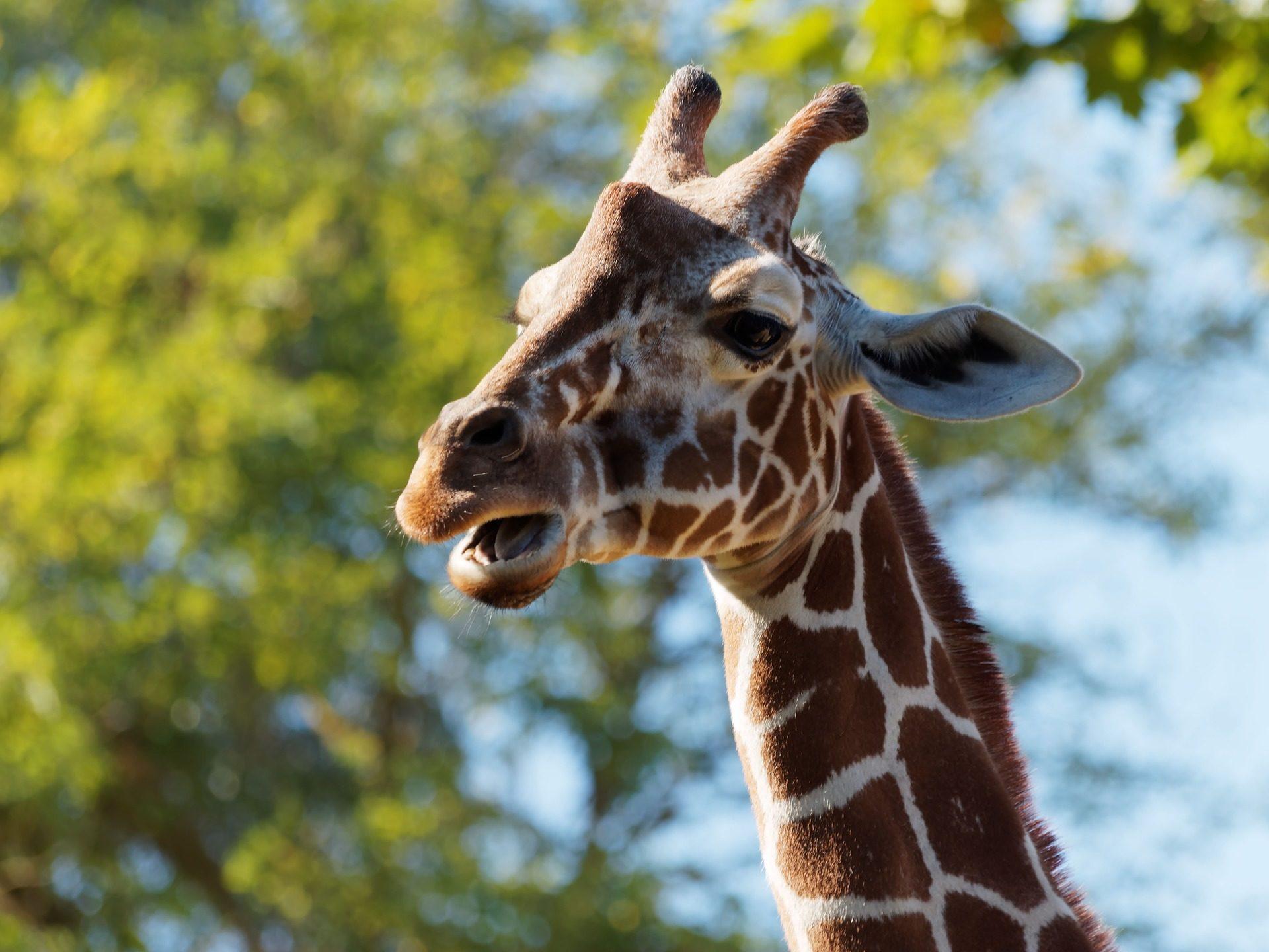 girafa, safari, áfrica, mamífero, cuernos - Fondos de Pantalla HD - professor-falken.com