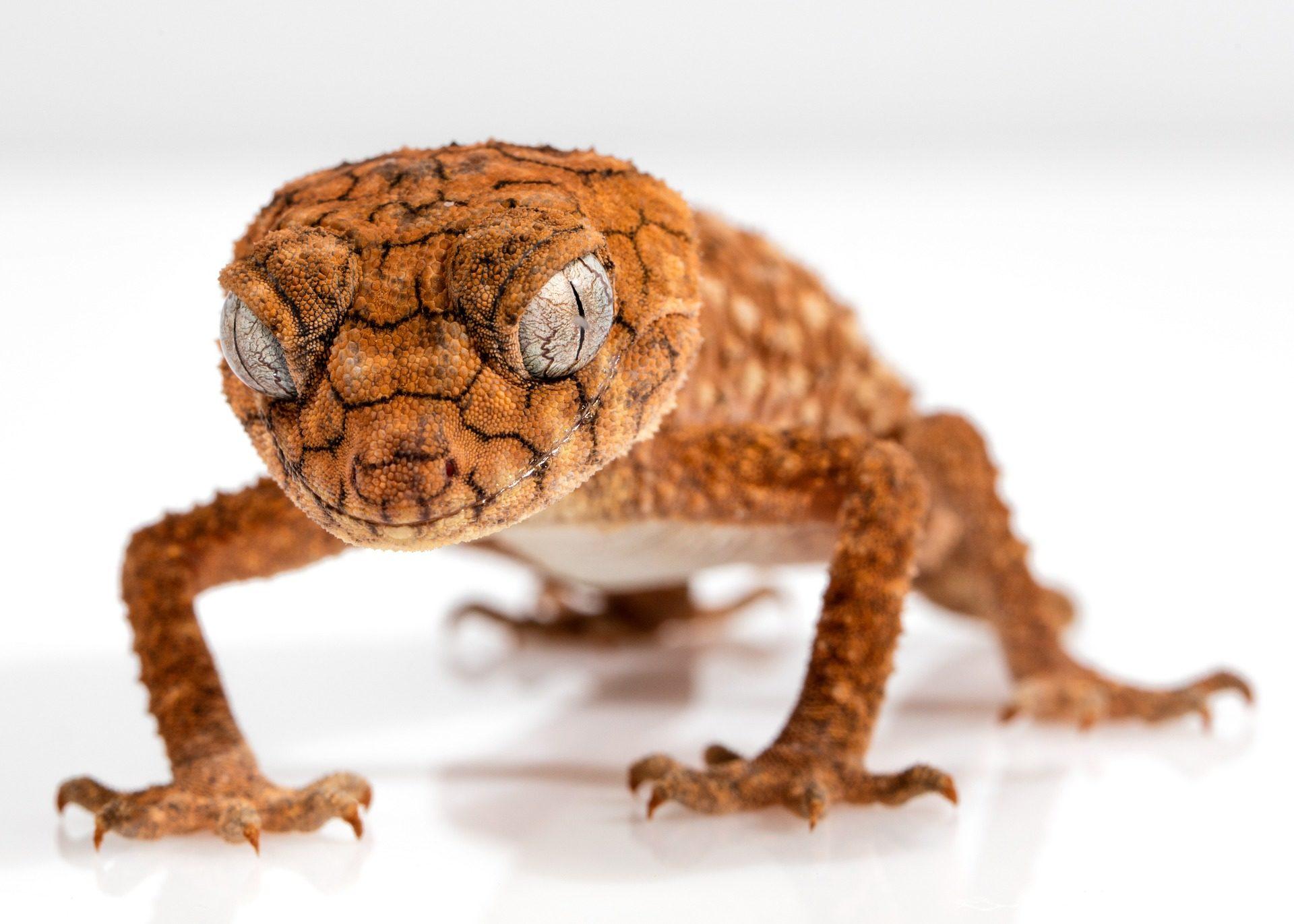 lagarto, Gecko, lucertola, gambe, occhi, chiodi, pelle, sguardo - Sfondi HD - Professor-falken.com