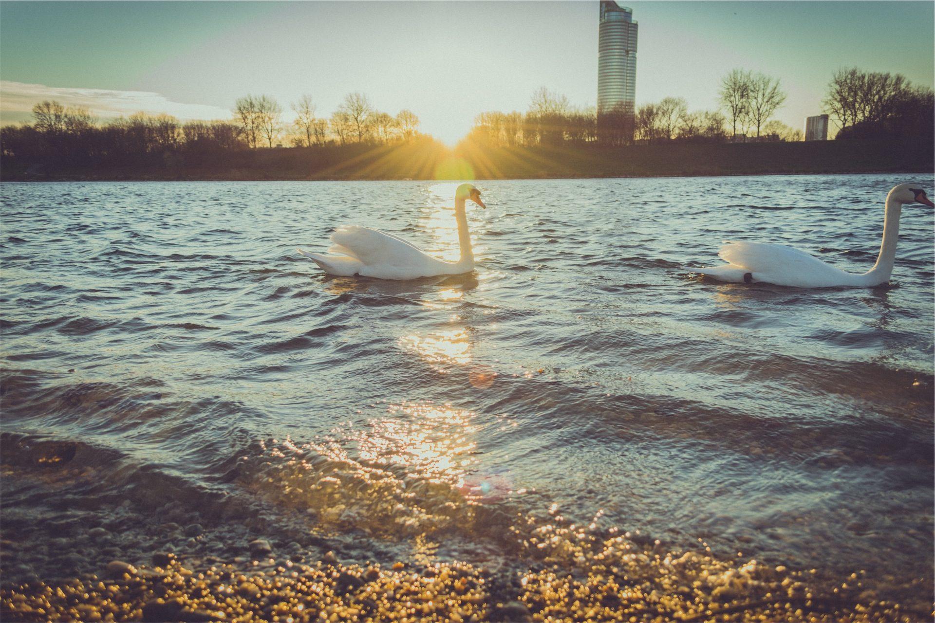 Lake, Parc, Ville, Cygnes, eau, Coucher de soleil - Fonds d'écran HD - Professor-falken.com
