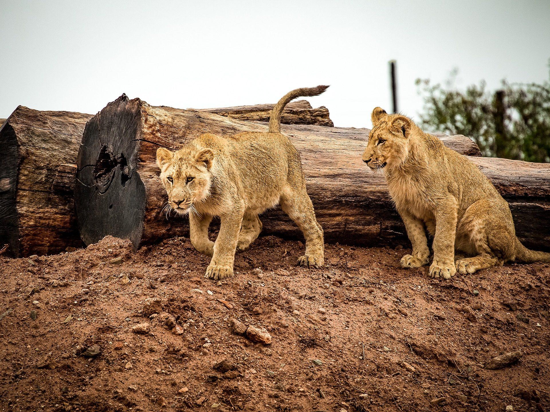 Lions, jeune, chats, Sauvage, L'Afrique - Fonds d'écran HD - Professor-falken.com