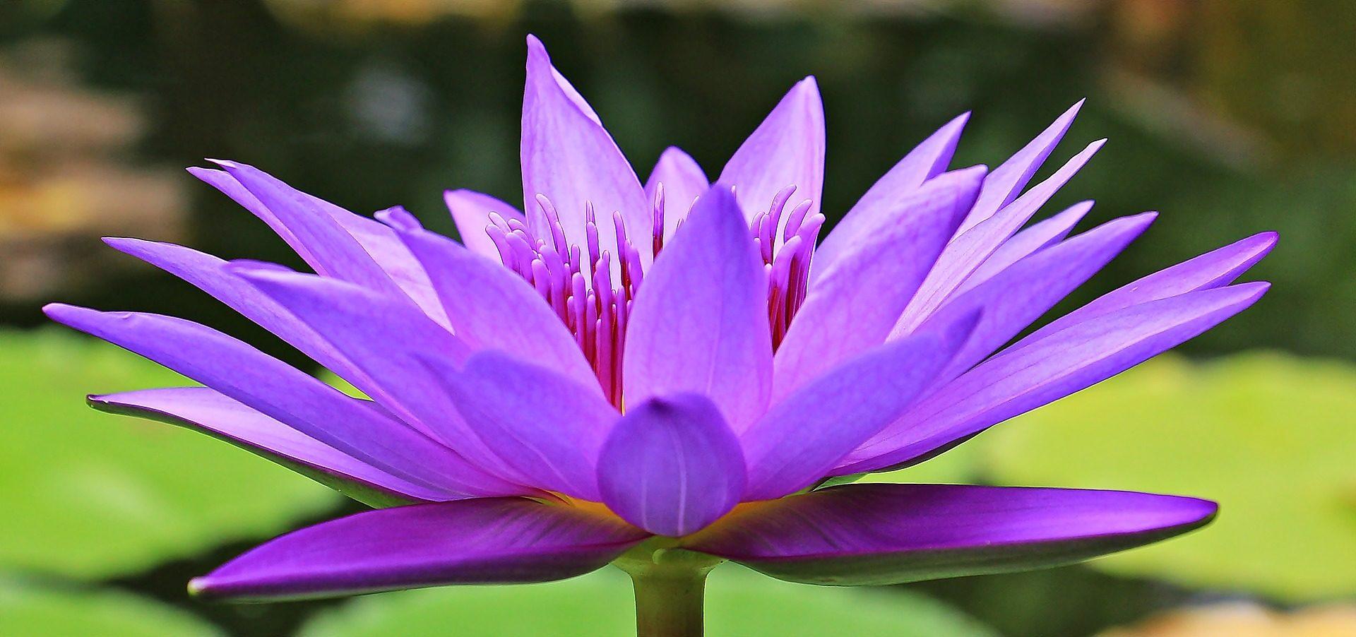 Лили, воды, цветок, растения, лепестки, Фиолетовый - Обои HD - Профессор falken.com