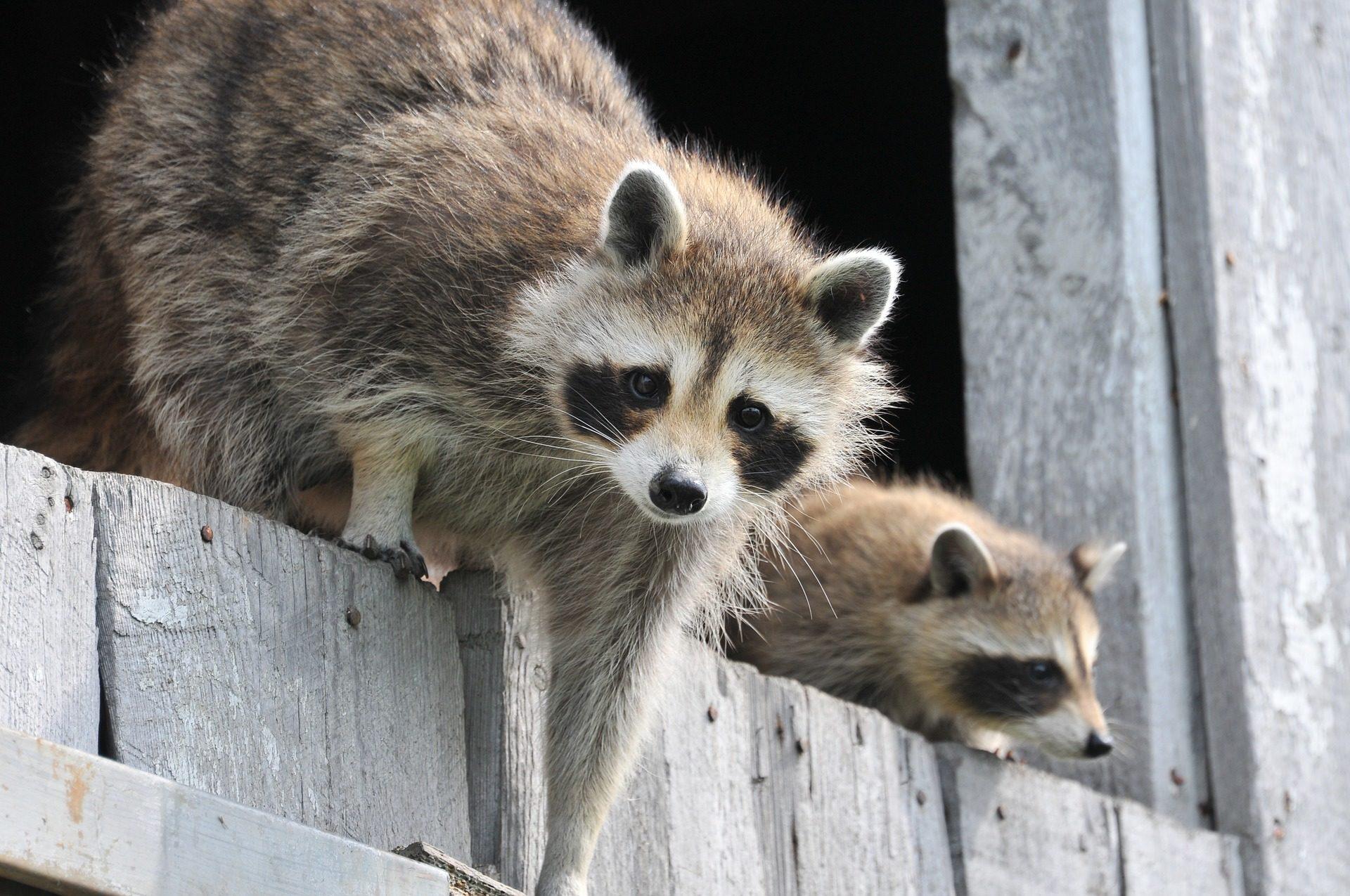 mapaches, salvajes, divertidos, adorables, pareja, pelaje - Fondos de Pantalla HD - professor-falken.com