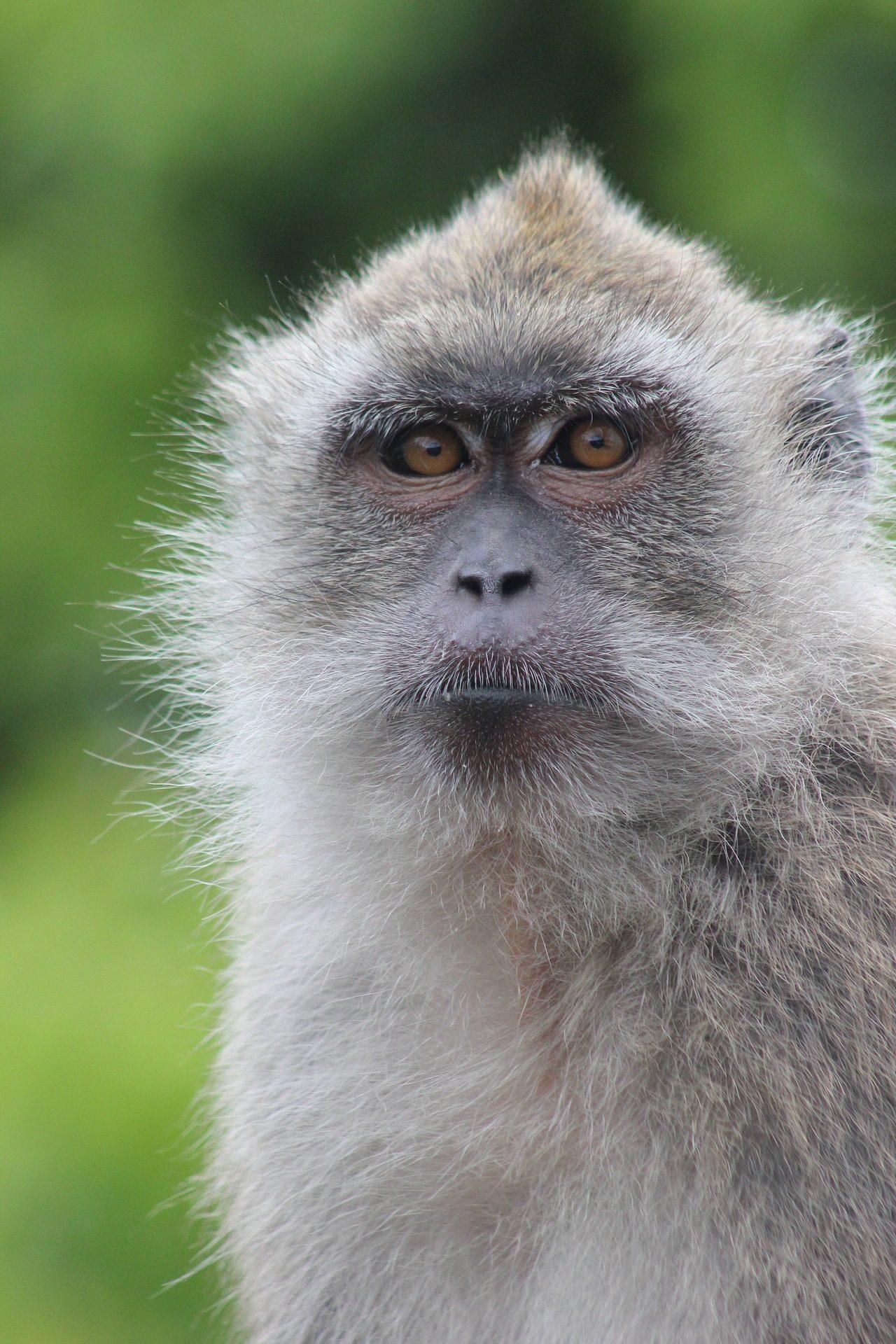 mono, macaco, simio, pelaje, mirada, gris - Fondos de Pantalla HD - professor-falken.com
