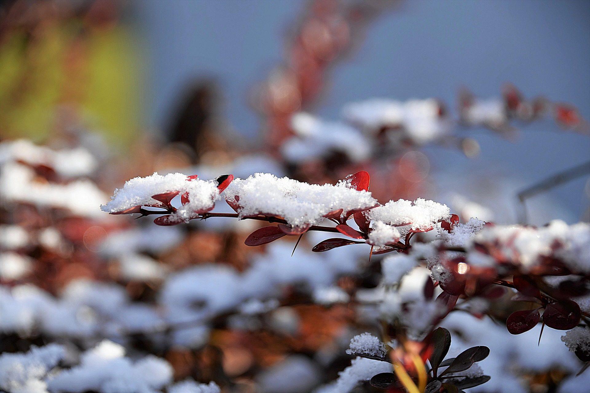 Schnee, Blätter, Pflanzen, Winter, Flocken - Wallpaper HD - Prof.-falken.com