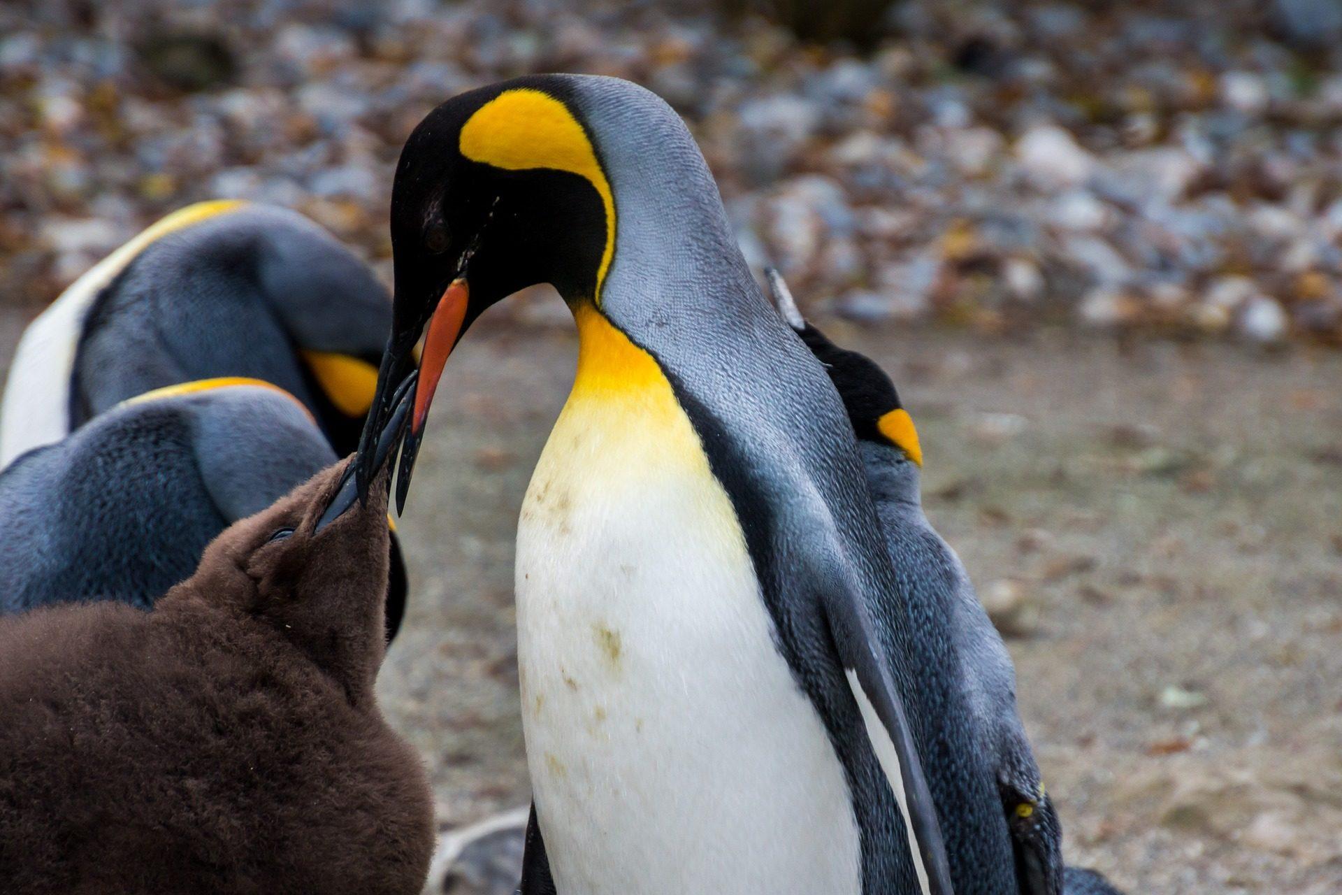 Πιγκουίνος, Αυτοκράτορας, Λ., Πόλοι, κρύο, χιόνι - Wallpapers HD - Professor-falken.com