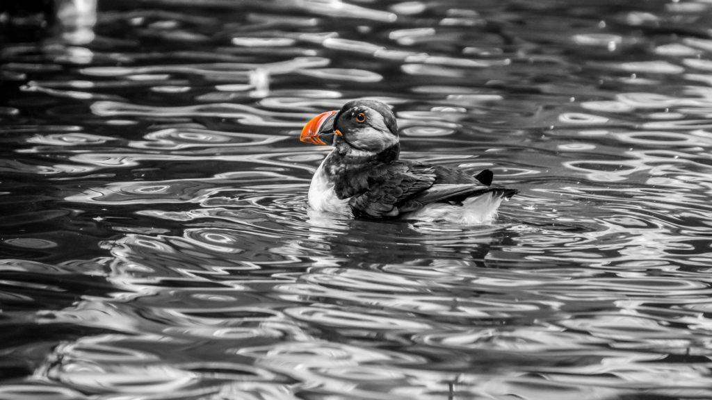 pinguino, frailecillo, agua, nadar, pico, naranja, 1611251513