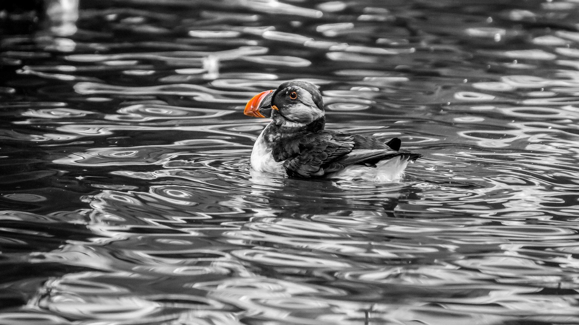 pinguino, frailecillo, agua, nadar, pico, naranja - Fondos de Pantalla HD - professor-falken.com