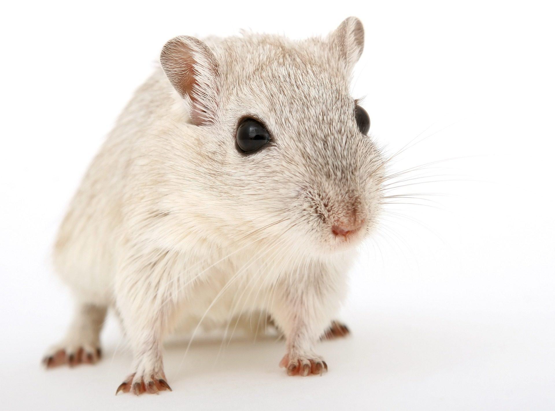 鼠标, 仓鼠, 大 鼠, 晶须, 宠物, 双腿, 指甲, 啮齿类动物 - 高清壁纸 - 教授-falken.com