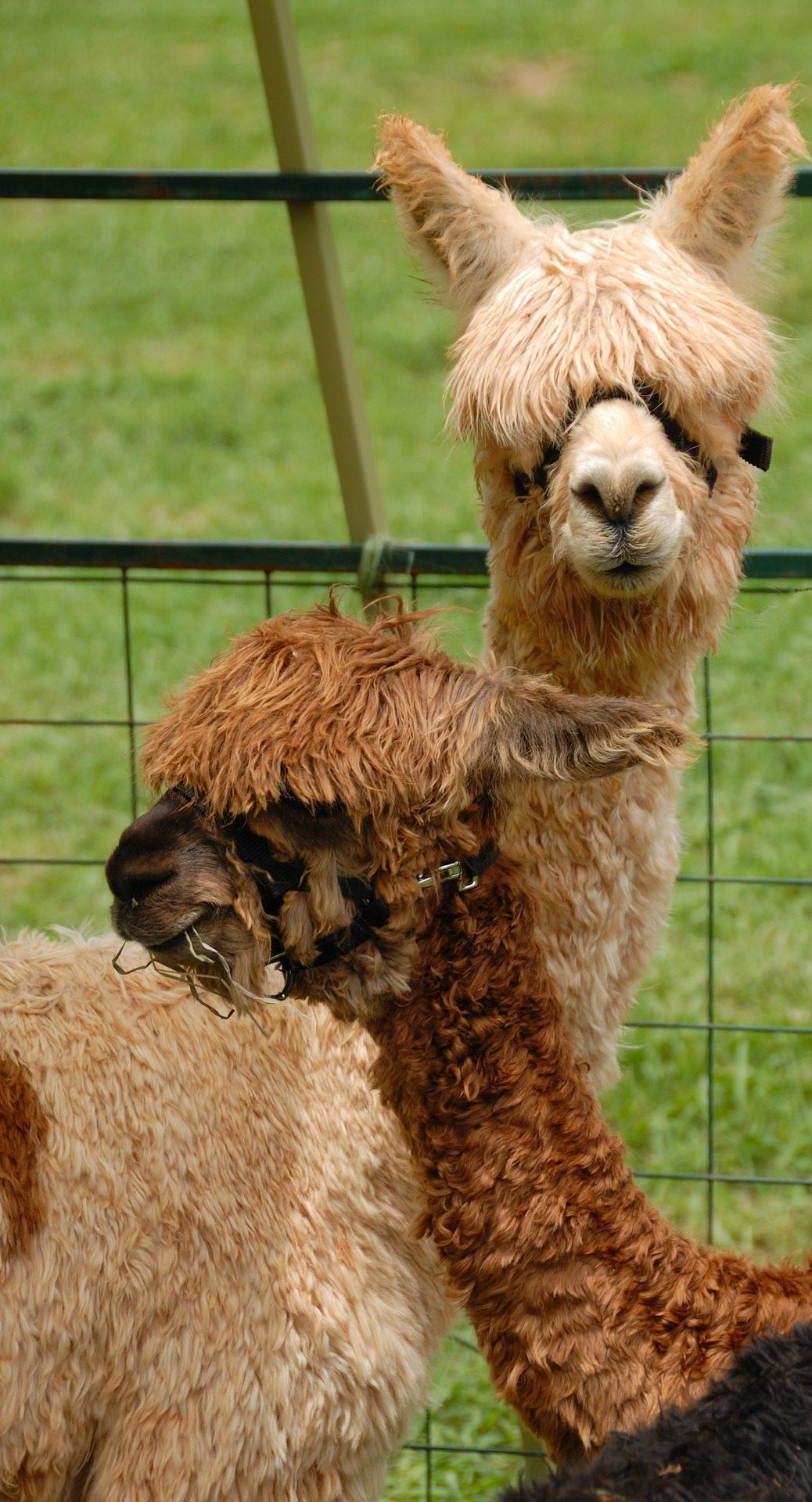 Alpacas, γούνα, μαλλί, αγρόκτημα, Περού - Wallpapers HD - Professor-falken.com