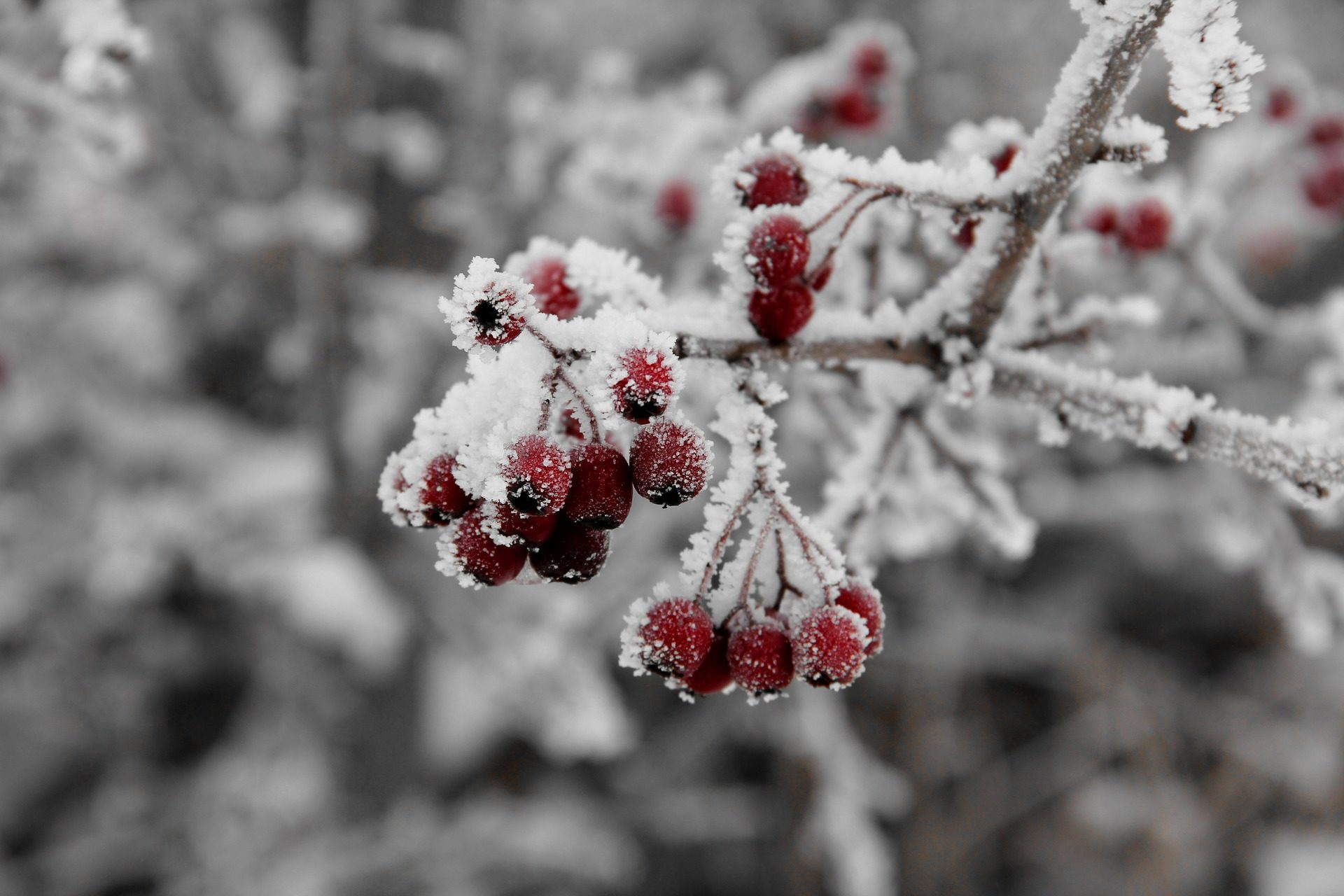 petits fruits, cluster, Direction générale de la, neige, Hiver, Rouge - Fonds d'écran HD - Professor-falken.com