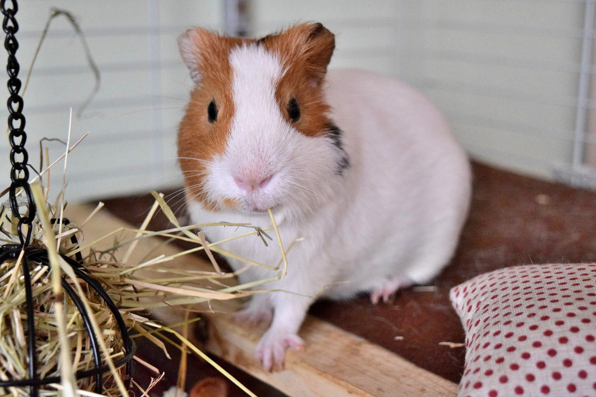conejillo de india, cobaya, mascota, roedor, pelaje, mirada - Fondos de Pantalla HD - professor-falken.com