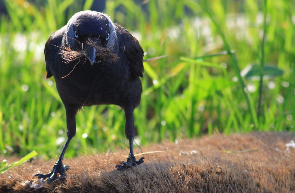 cuervo, pájaro, pico, paja, campo, mirada, 1612180853