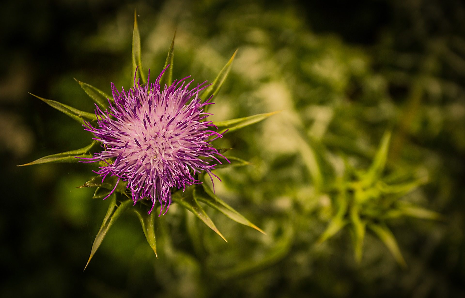 flor, planta, cardo, espinas, hierba, maleza - Fondos de Pantalla HD - professor-falken.com
