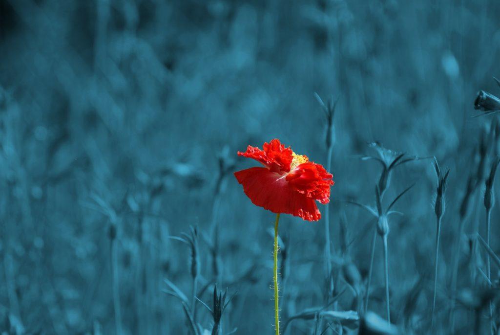 flor, roja, amapola, campo, azul, 1612280852