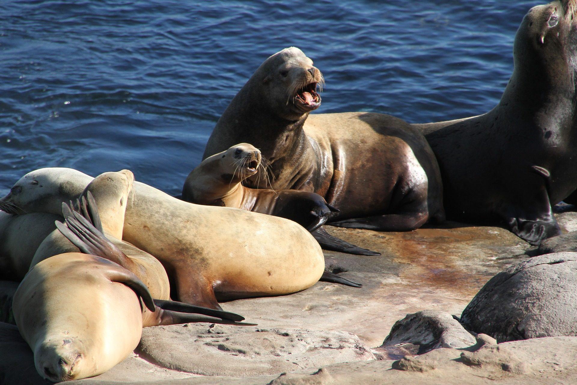 密封件, 海狮, 海洋, 野生, 哥斯达黎加 - 高清壁纸 - 教授-falken.com