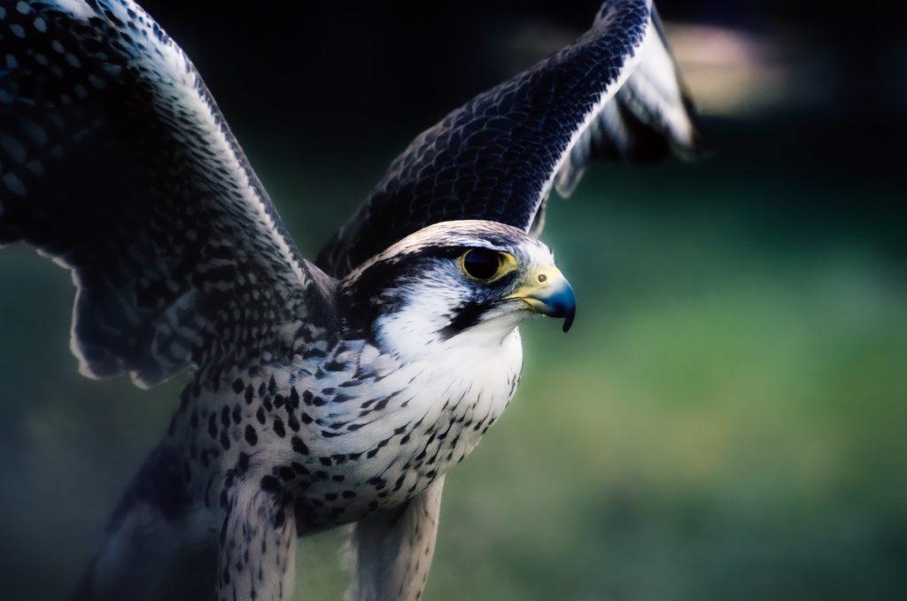 halcón, salvaje, depredador, alas, pico, envergadura, 1612061953