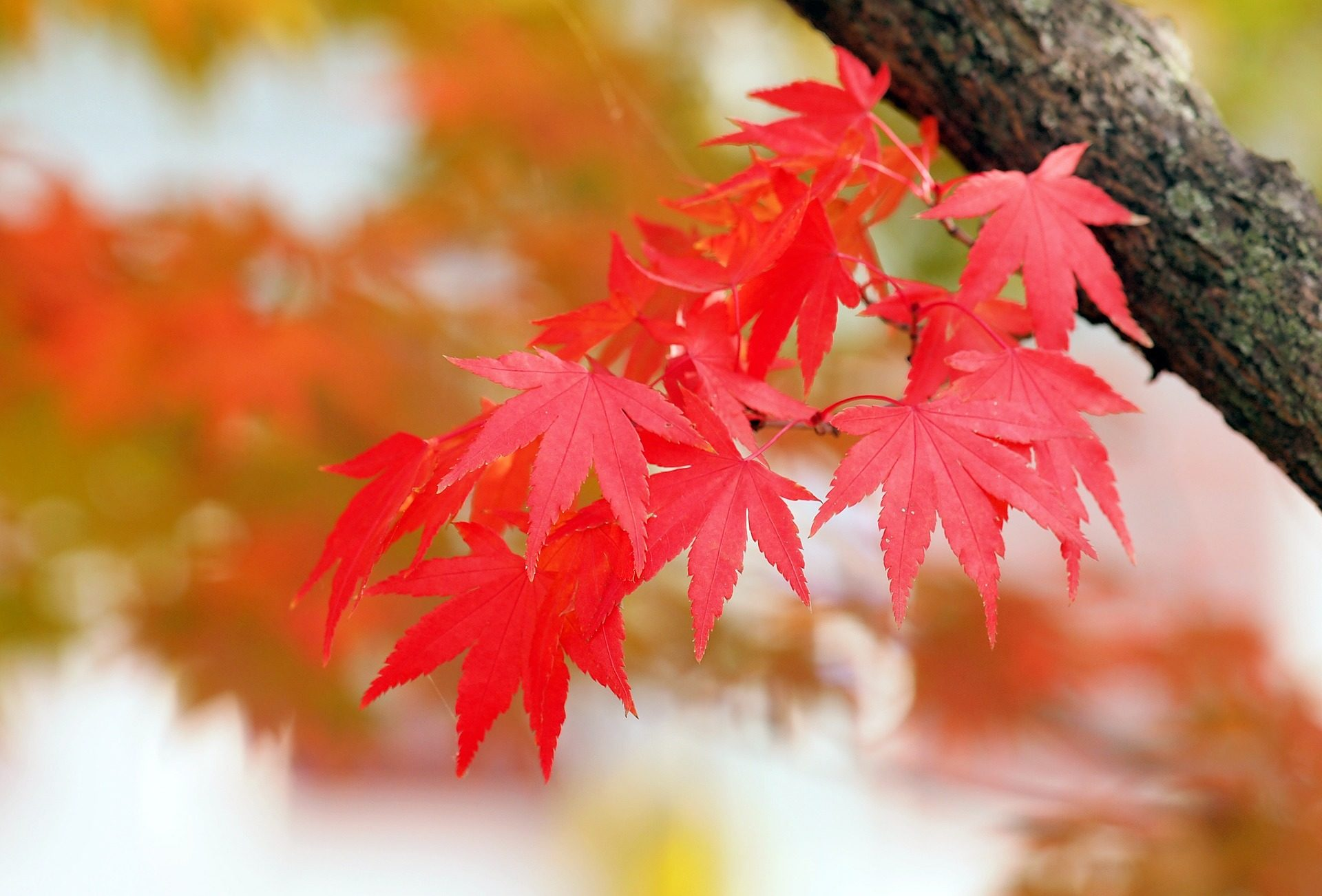 листья, дерево, Красный, Клен, Осень - Обои HD - Профессор falken.com