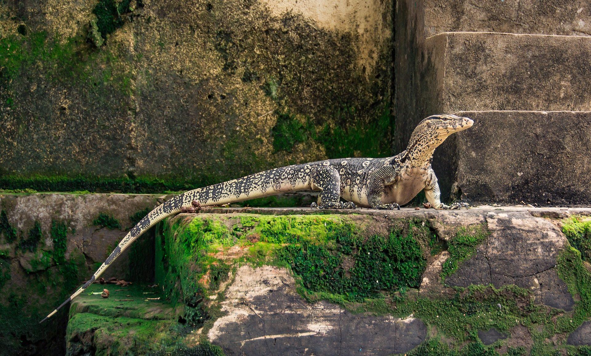 蜥蜴, 爬行动物, 尾巴, 注意, 龙, 自由, 野生 - 高清壁纸 - 教授-falken.com
