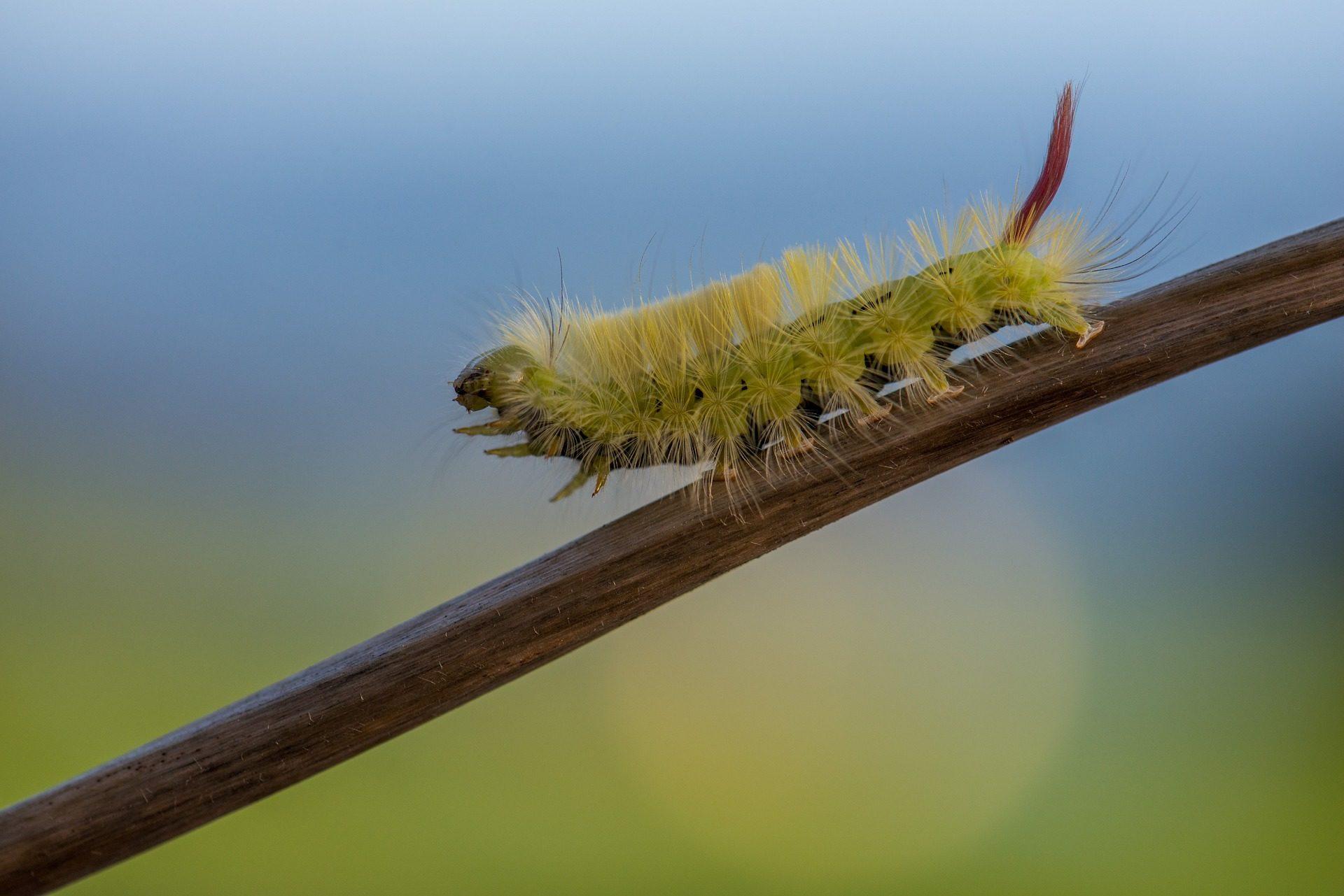 Caterpillar, insetto, peli, bastone, gambe - Sfondi HD - Professor-falken.com