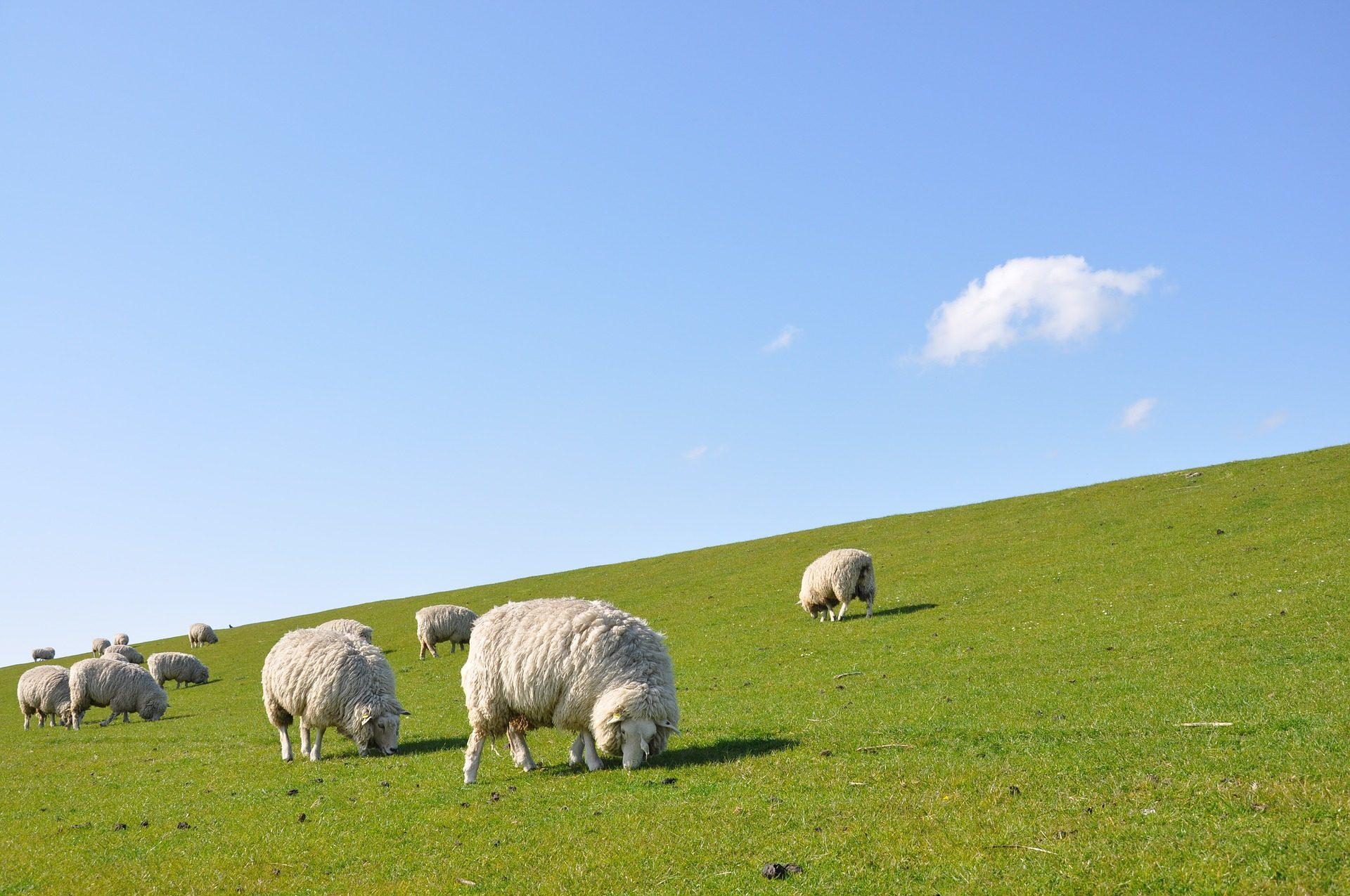 ovejas, lana, pradera, pastando, cielo - Fondos de Pantalla HD - professor-falken.com