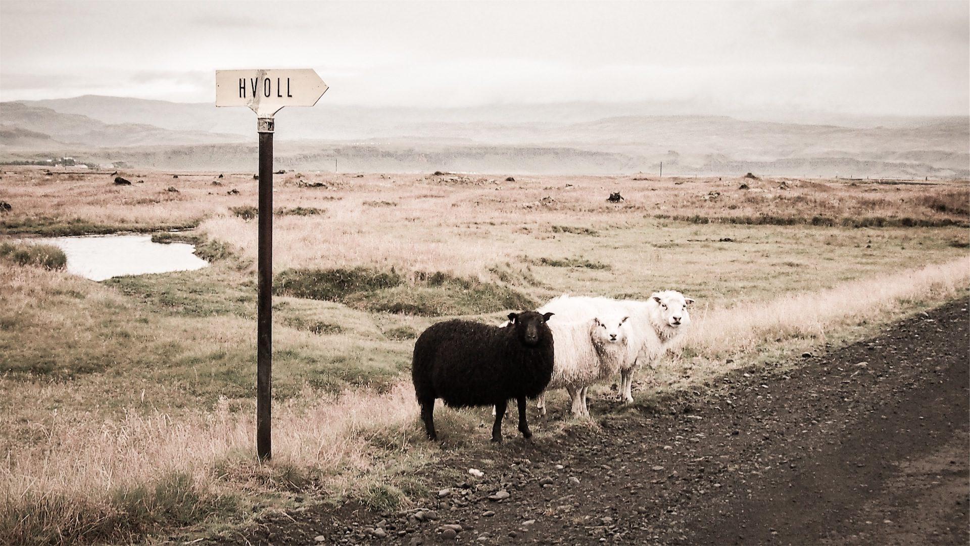 羊, ブラック, 道路, 信号, hvoll, フィールド - HD の壁紙 - 教授-falken.com