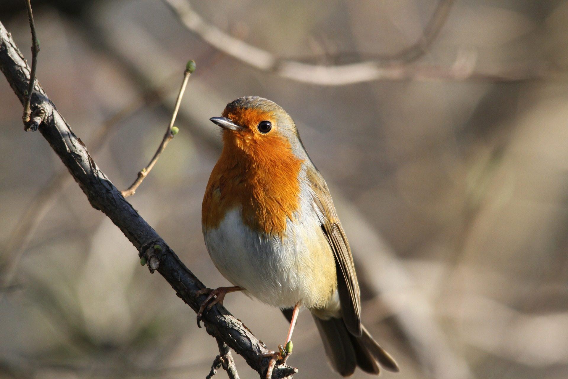pájaro, robin, petirrojo, rama, árbol - Fondos de Pantalla HD - professor-falken.com