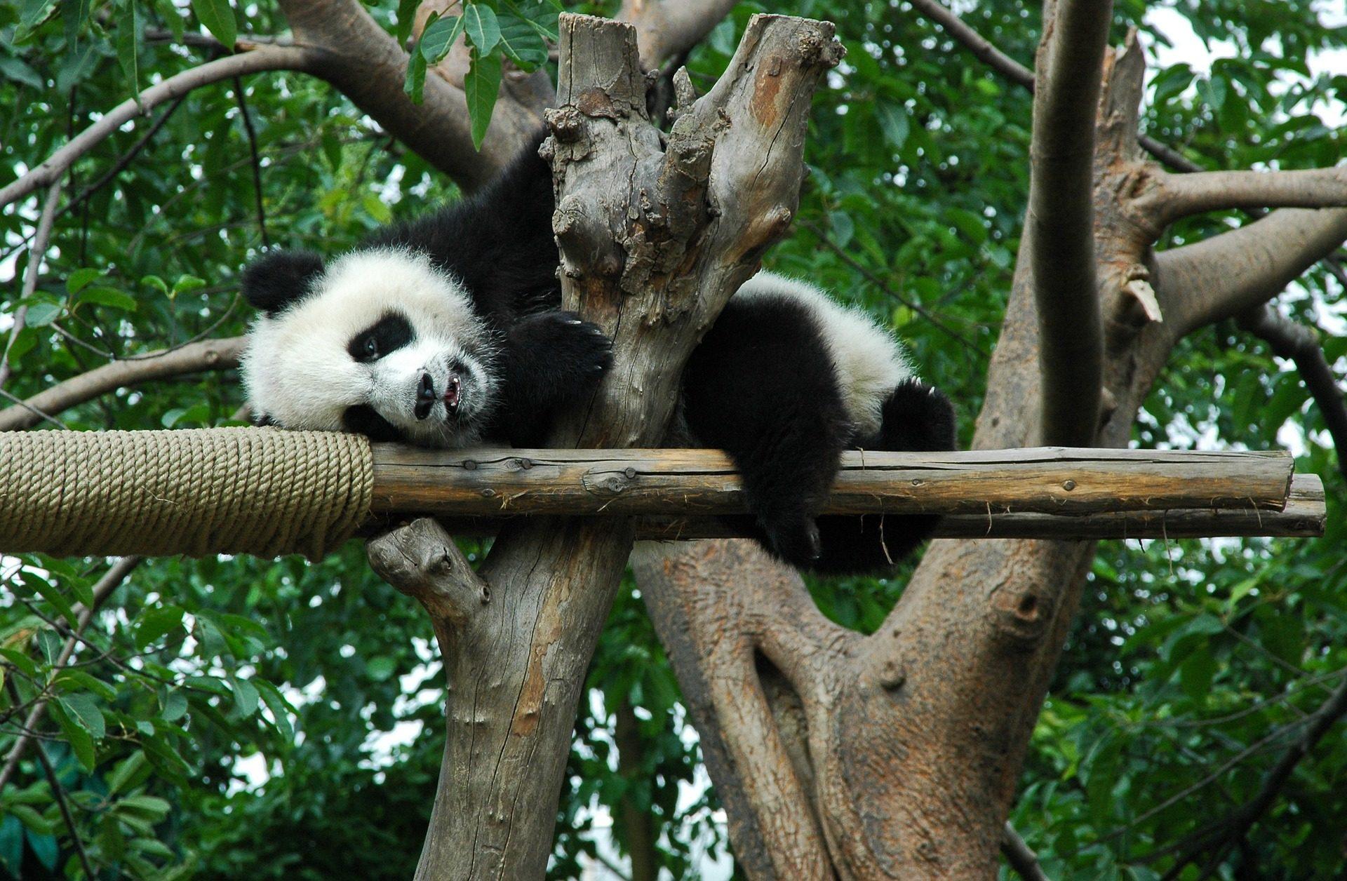 Panda, gigante, floresta, China, Mônada - Papéis de parede HD - Professor-falken.com