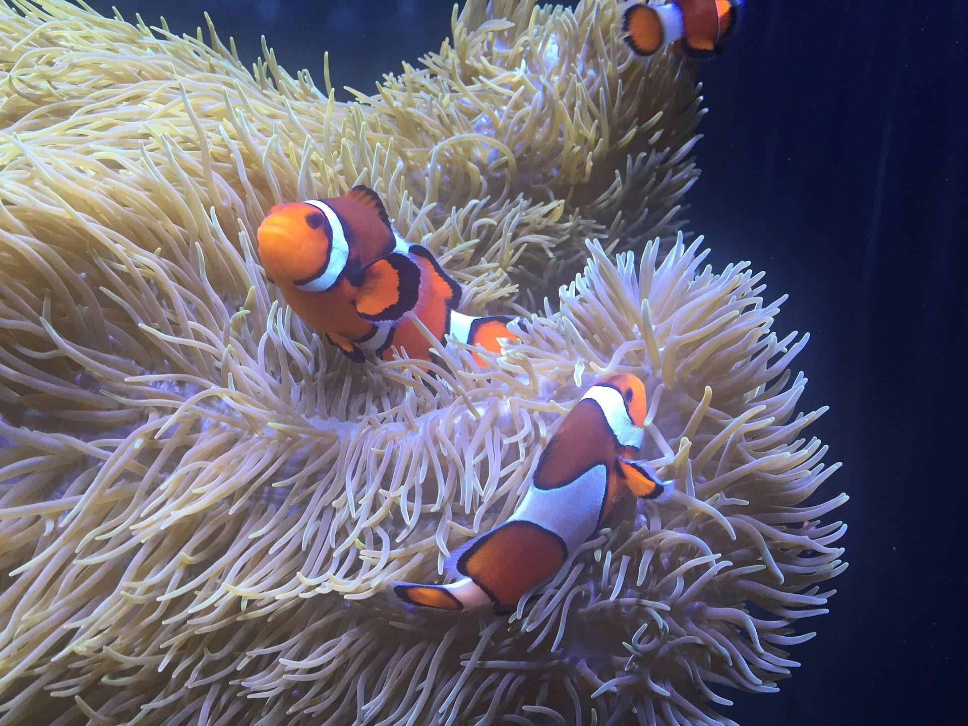 peces, payaso, anénoma, colorido, acuario - Fondos de Pantalla HD - professor-falken.com