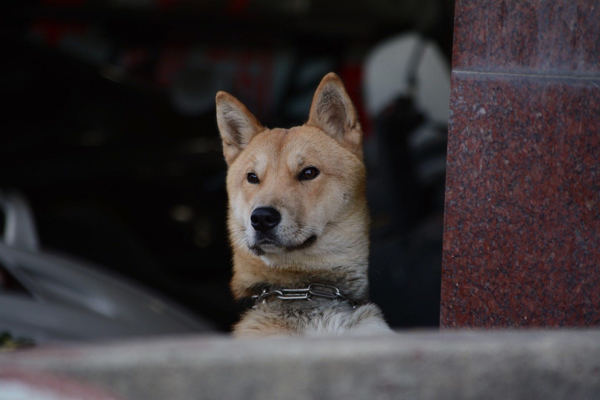 σκύλος, αλυσίδα, προσοχή, Jindo, Κορεατικά - Wallpapers HD - Professor-falken.com