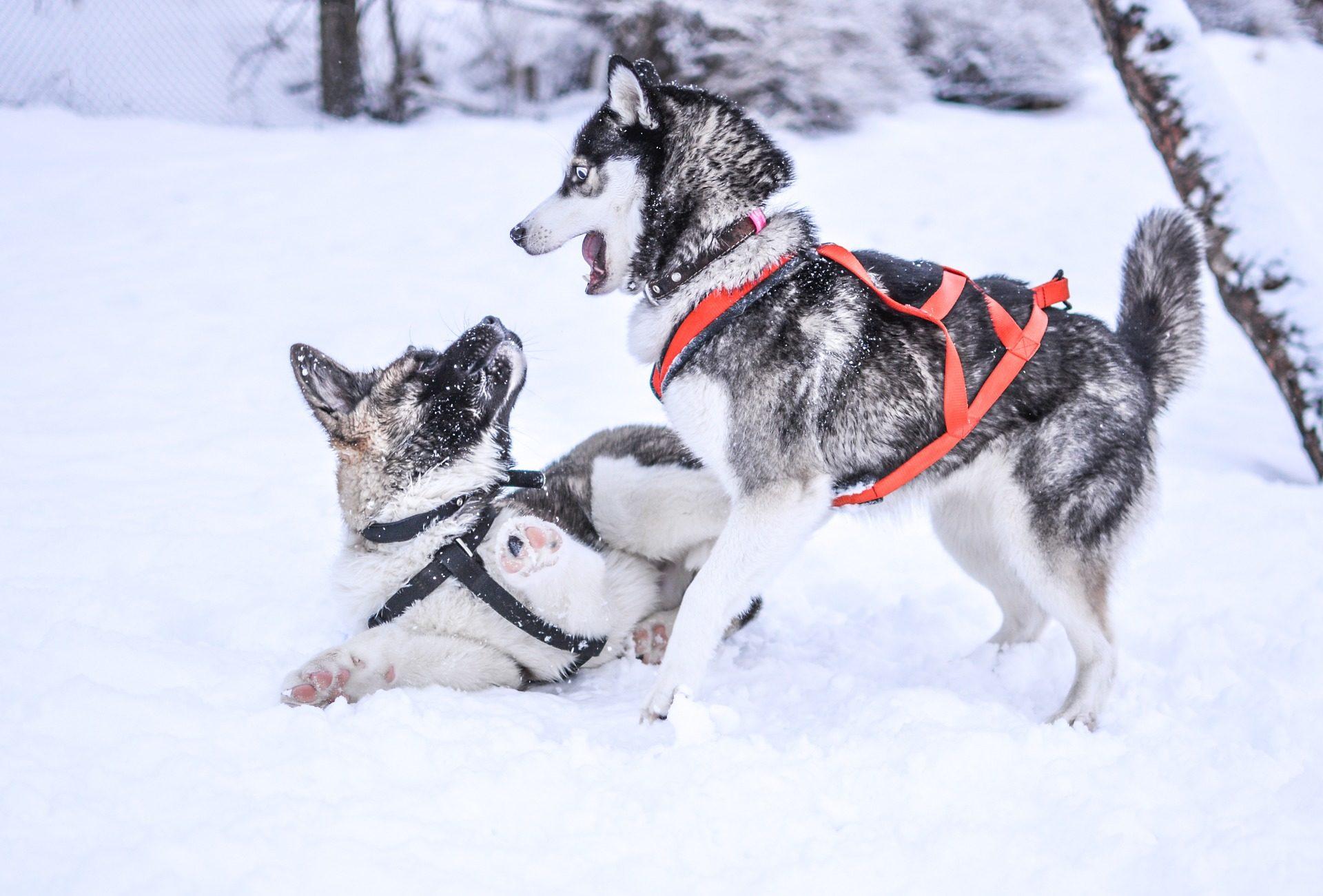 الكلاب, لعبة, الثلج, الإسكيمو, الباردة - خلفيات عالية الدقة - أستاذ falken.com