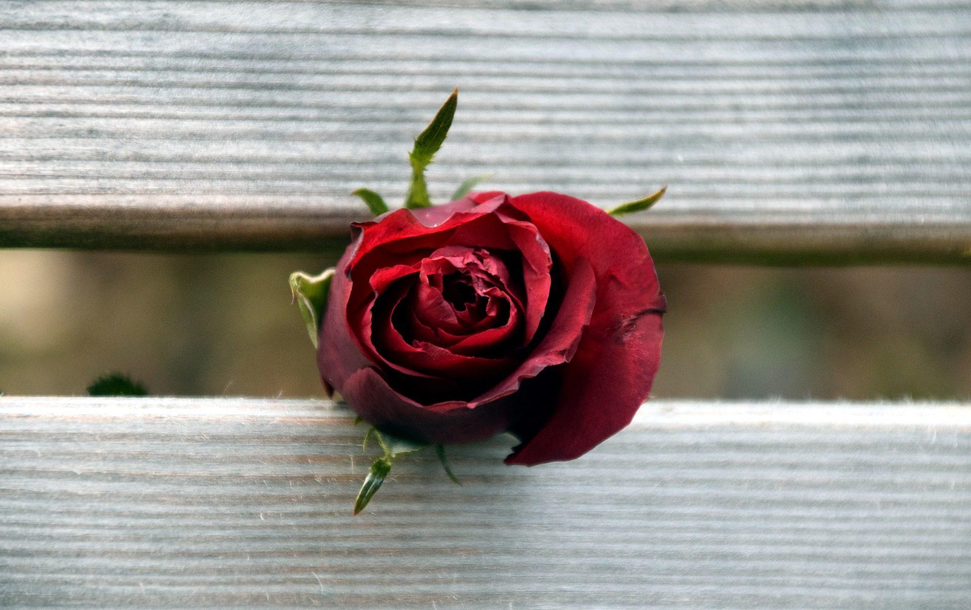 Rosa, fleur, bois, Rouge, pétales - Fonds d'écran HD - Professor-falken.com