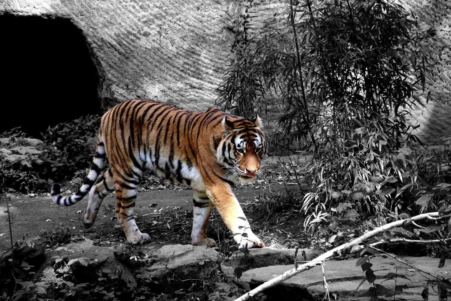 Тигр, кошачьи, Хищник, полосы, в черно-белом - Обои HD - Профессор falken.com