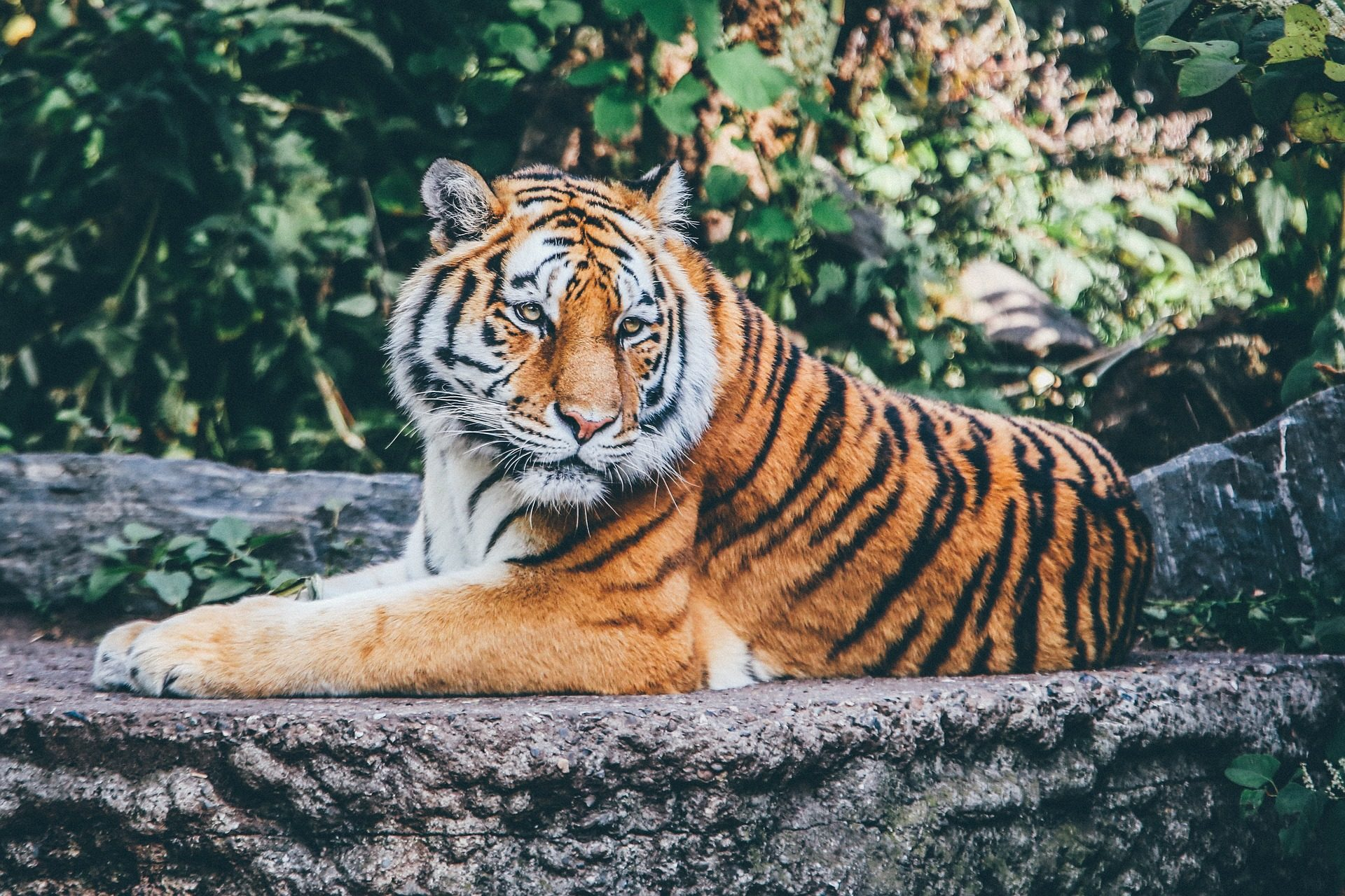 Tigre, félin, Sauvage, Safari, Zoo - Fonds d'écran HD - Professor-falken.com