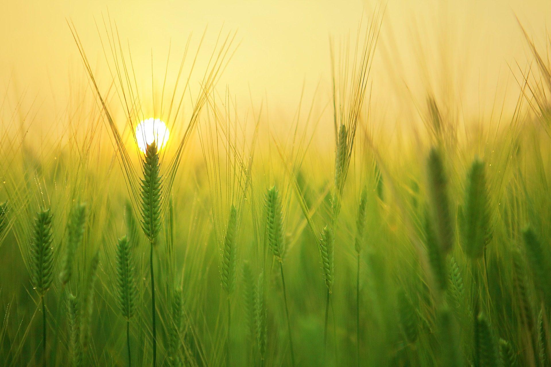 σιτάρι, πεδίο, Φυτεία, Πράσινο, Κυρ, φως - Wallpapers HD - Professor-falken.com