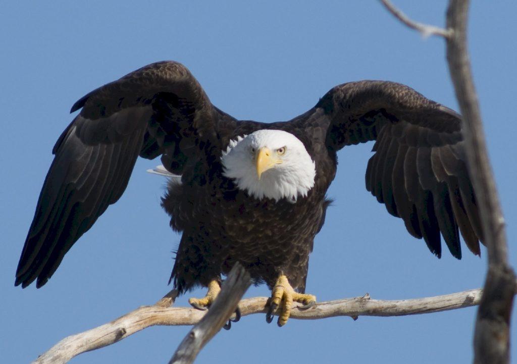 águila, ave, rapaz, alas, envergadura, caza, rama, 1701310832