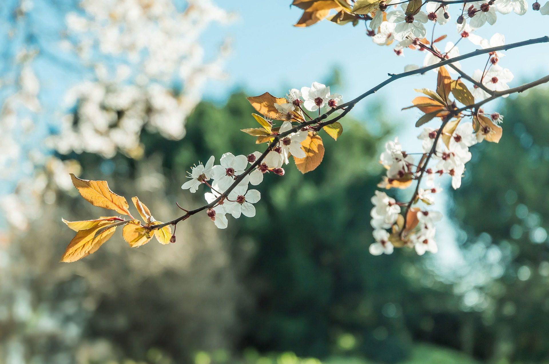 Fondo De Pantalla De 193 Rbol Rama Flores Floraci 243 N Hojas