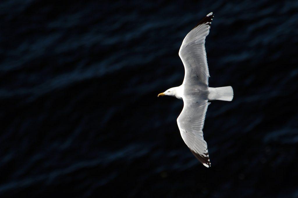 gaviota, vuelo, pajaro, ave, libertada, mar, 1701091325
