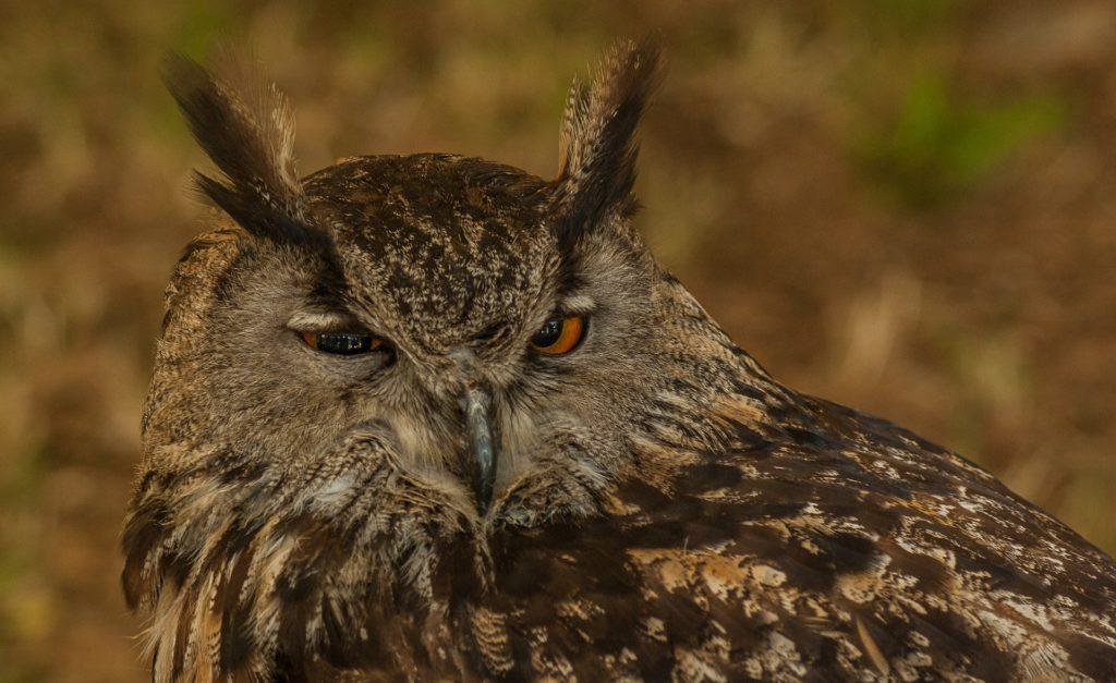 lechuza, buho, adormilada, plumaje, pájaro, ave, 1701262120